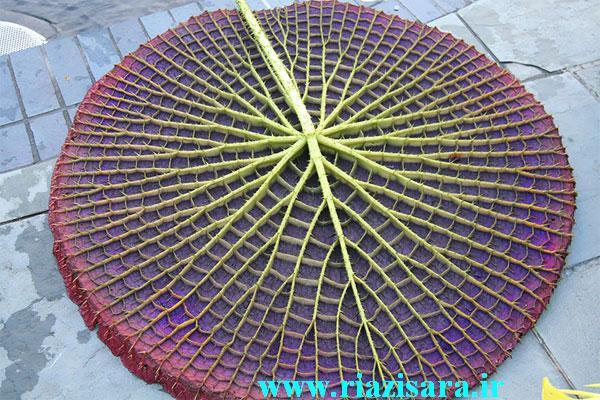 گیاه آمازون لیلی پد